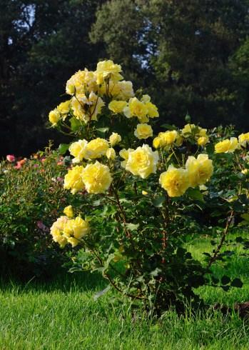 grow-roses