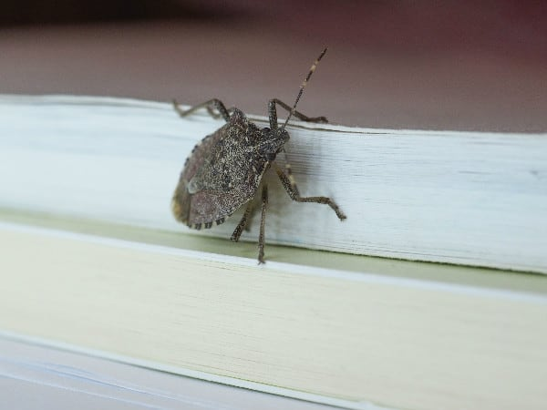 Seen these around the house? Here are 8 home remedies to get rid of stink bugs.