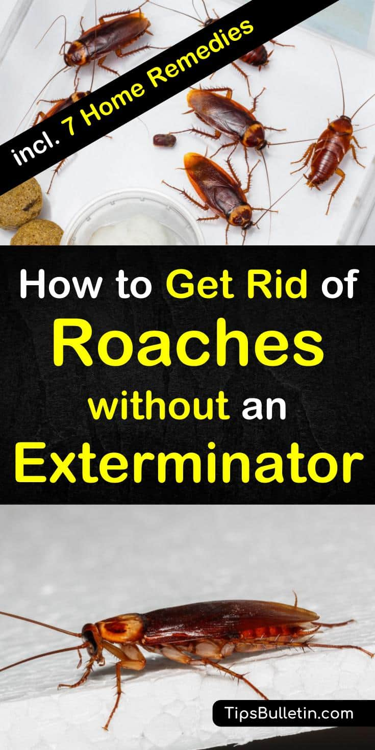 Try these 8 home remedies for how to get rid of roaches without an exterminator. These DIY remedies using baking soda, sugar, and other common products are the best way to rid your home of roaches for good. Get rid of roaches from an apartment, house, or those in car overnight. #roaches #roachfree