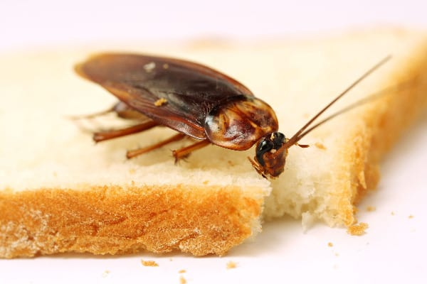 Figuring out how to get rid of roaches without an exterminator takes experimentation.