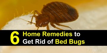 6 Home Remedies to Get Rid of Bed Bugs Incl. Recipes
