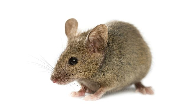 Chewed food is one sign that you may need to know how to get rid of mice.