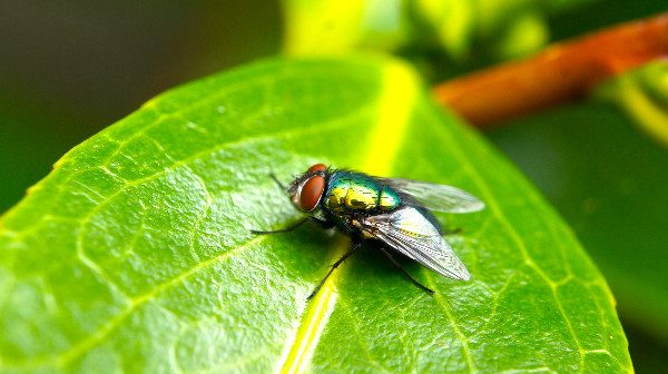 how to get rid of house flies closeup image