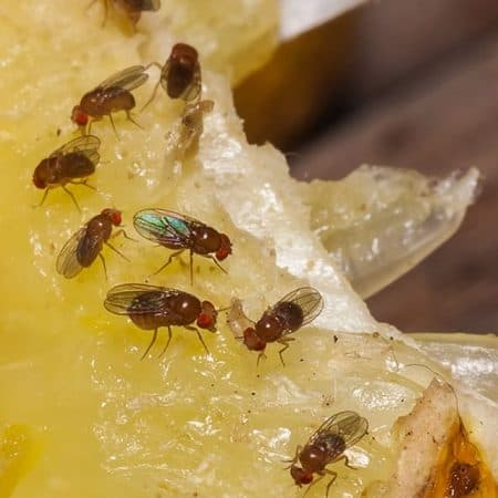 closeup how to get rid of fruit flies