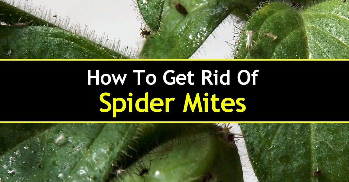 how to get rid of spider mites - remedies and prevention