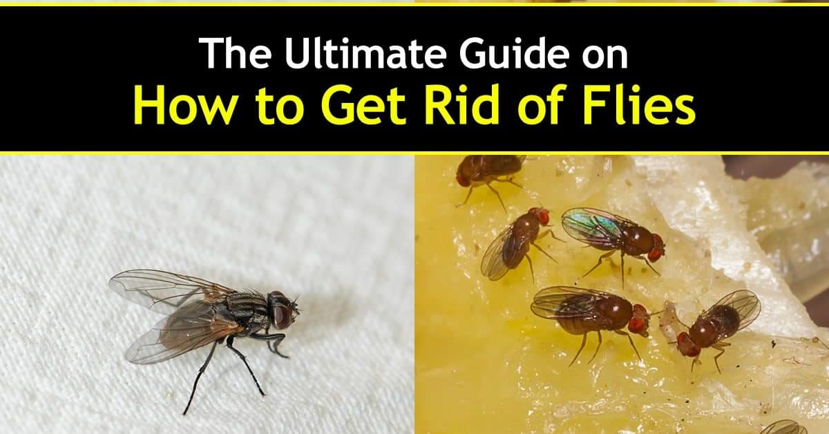 How to get rid of flies - house and fruit flies