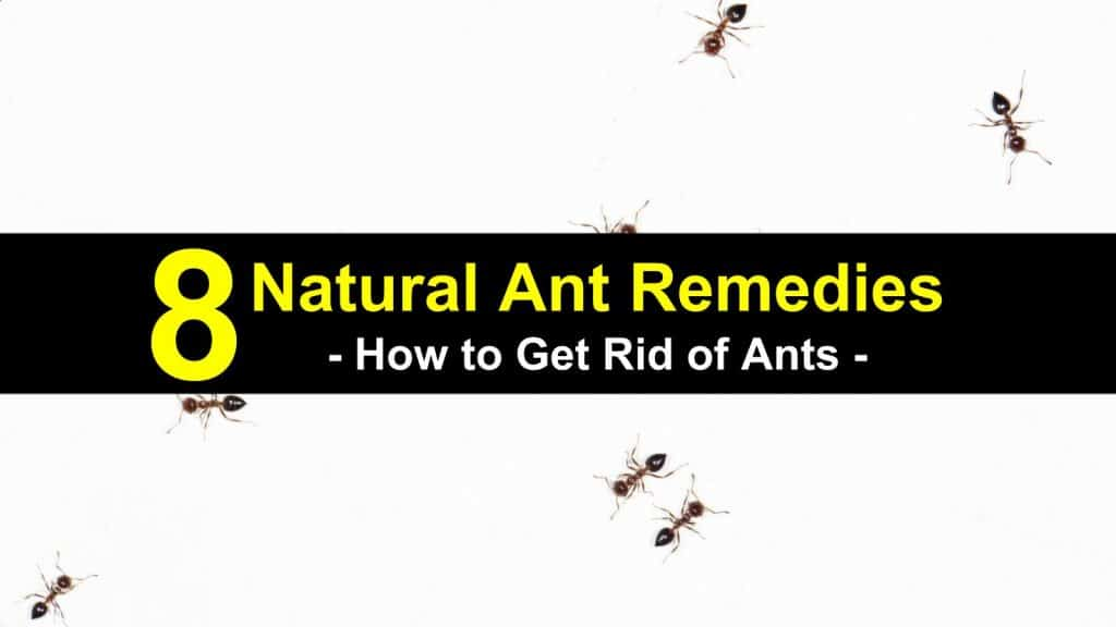 how to get rid of ants with home remedies