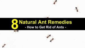 8 Natural Ant Remedies – How to Get Rid of Ants