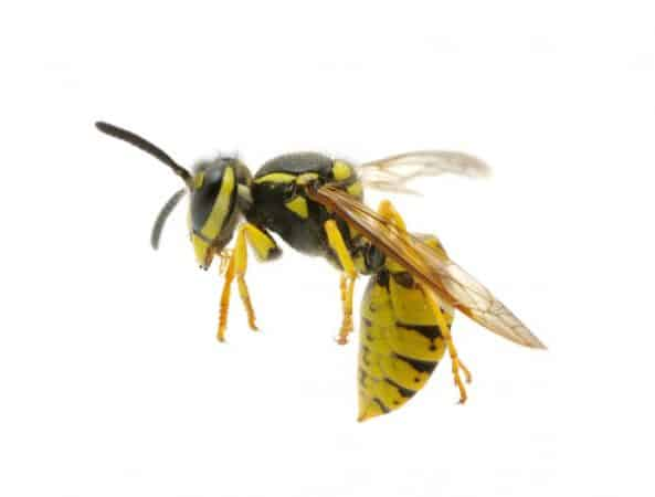 Yellow jackets are easily provoked, meaning you'll want to know how to keep yellow jackets away.