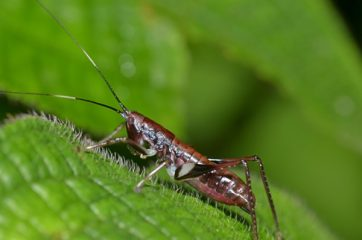 crickets in a garden can be easily controlled with neem oil