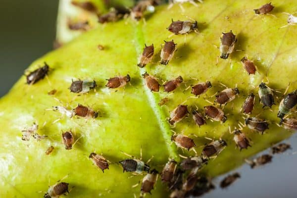 Combatting aphids is one way to use neem oil for garden.