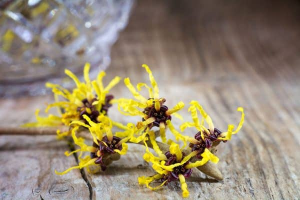 What is witch hazel? Extract of the Hamamelis virginiana shrub or tree.
