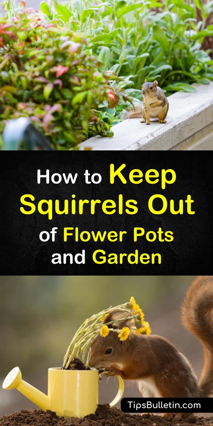 How to keep squirrels out of flower pots and the garden - How to keep squirrels from digging in garden ...