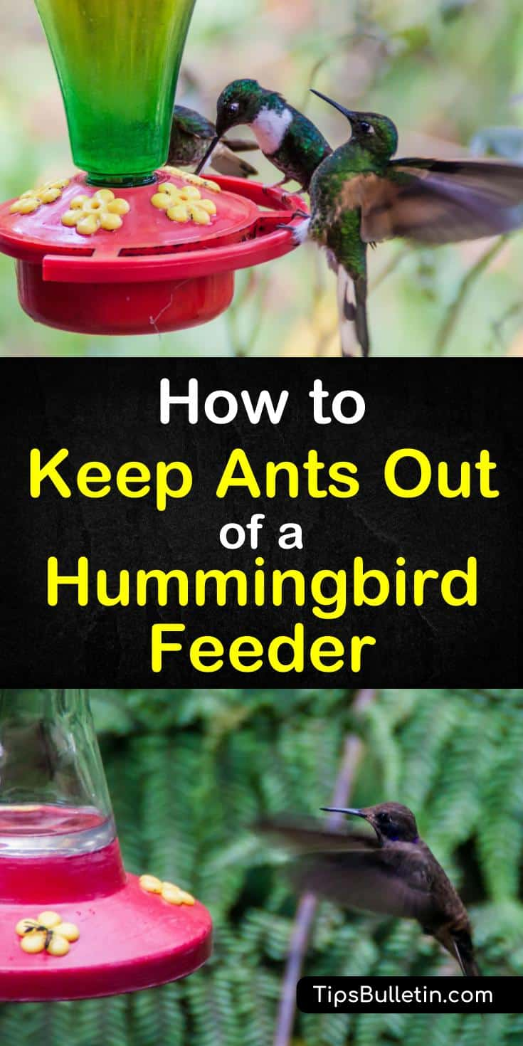 Find out how to keep ants out of hummingbird feeder with these simple tips and tricks. Learn how to get rid of ants easily and keep the hummingbirds happy. These simple techniques will also help keep ants out of the bird feeders in your backyard. #keepantsout #hummingbirdfeeders