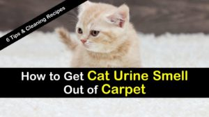 how to get cat urine smell out of carpet titlimg