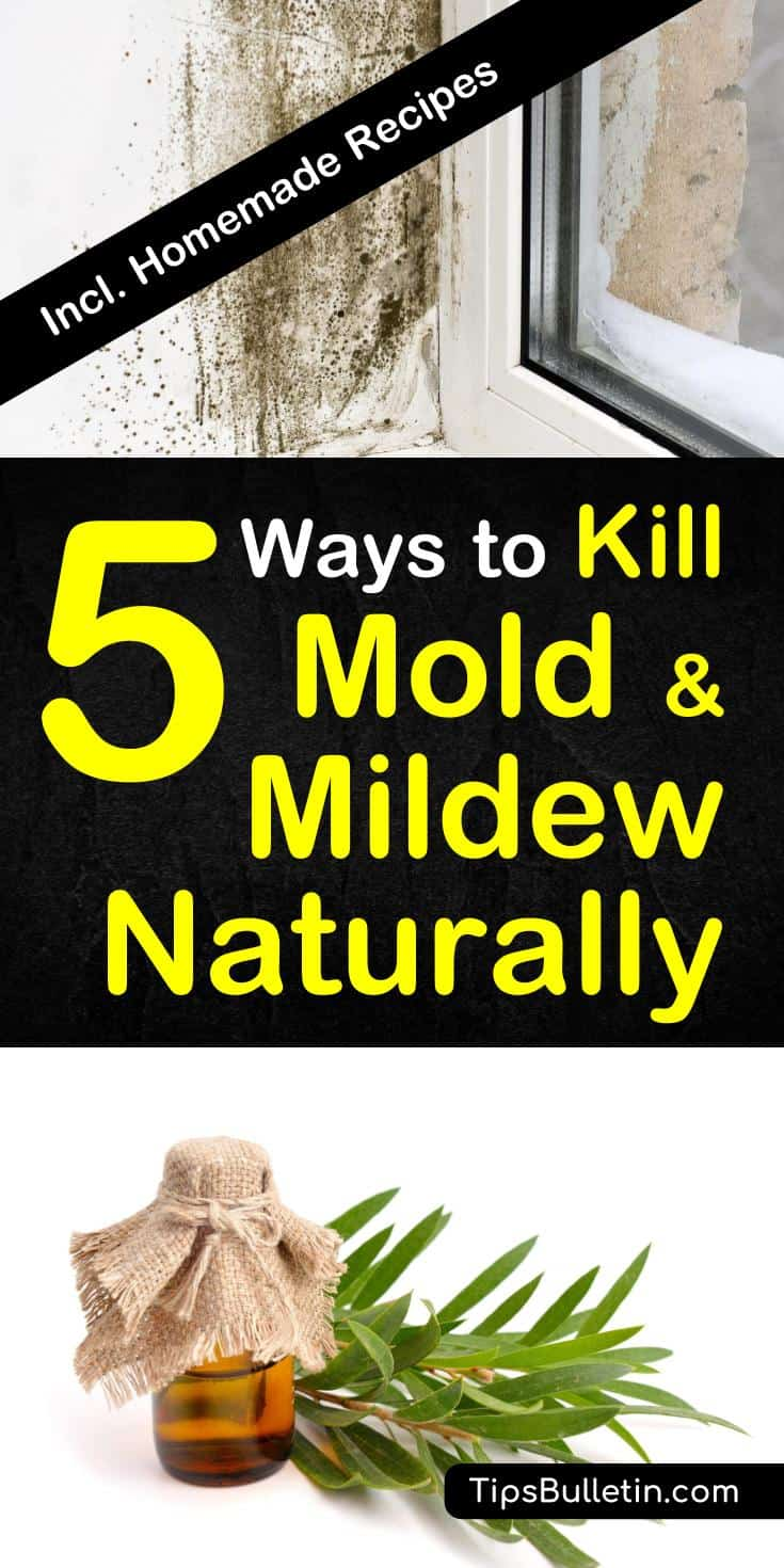 How to remove and clean mold and mildew naturally from walls, ceiling, car, shower, carpet or wood. Using hydrogen peroxide, tea tree oil, and other natural remedies. Includes DIY homemade mold remover recipes.#moldremover #diy #clean #mildew #health