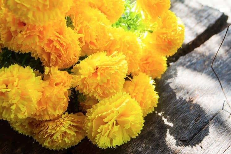 air cleaning houseplant chrysanthemum