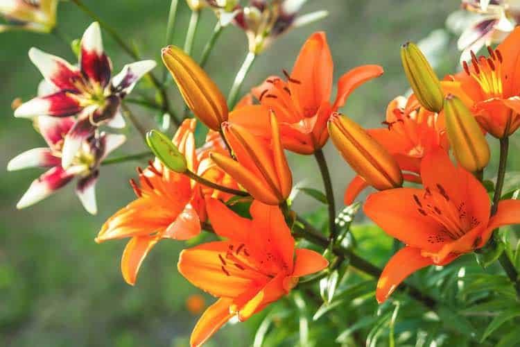 daylily plant