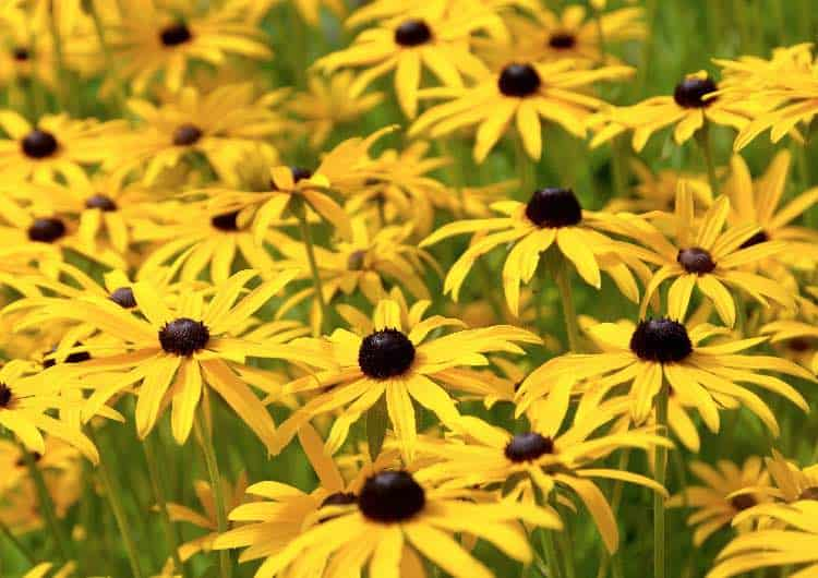 black eyed susan plant
