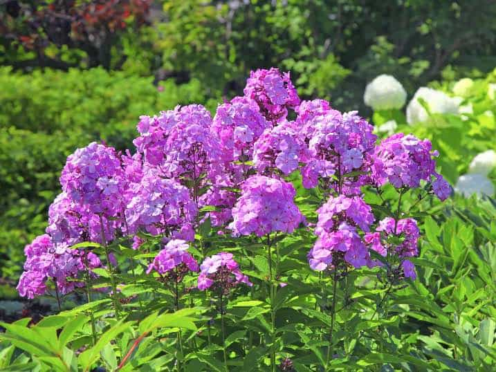 17 easy to grow perennials for a blossoming backyard the tall garden phlox will grow between three and four feet tall and exhibits large fragrant perennial flowers from the early summer into the early fall mightylinksfo