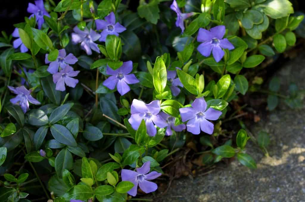 Trailing Periwinkle - Vinca Minor - Ground Cover Plants