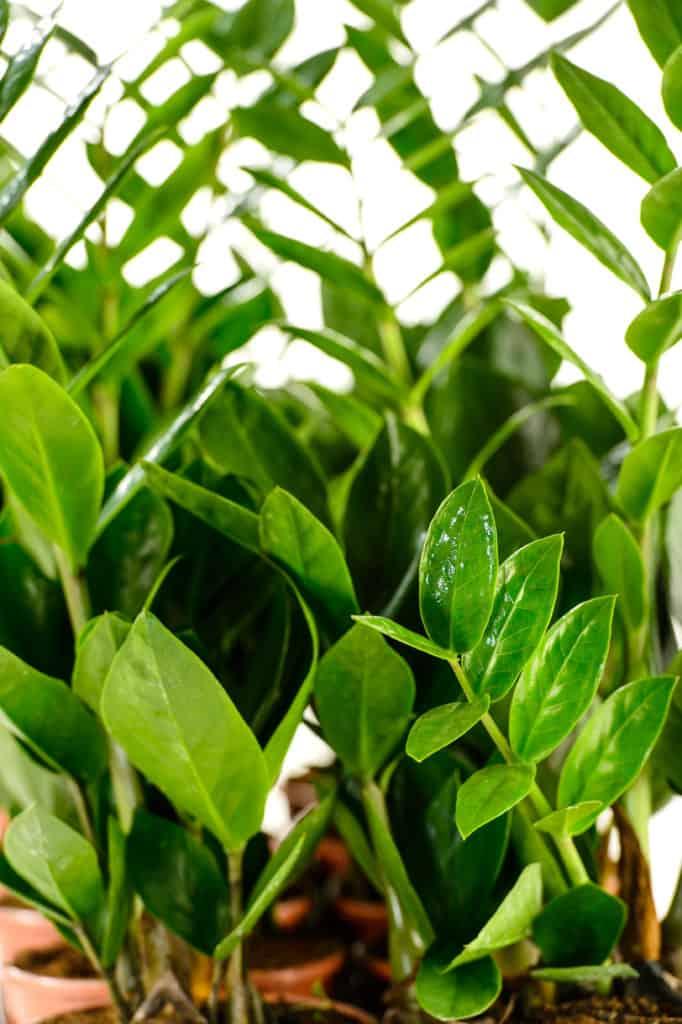 Zamioculcas zamiifolia houseplant in pot