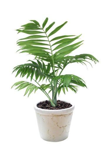 bamboo-palm-Chamaedorea