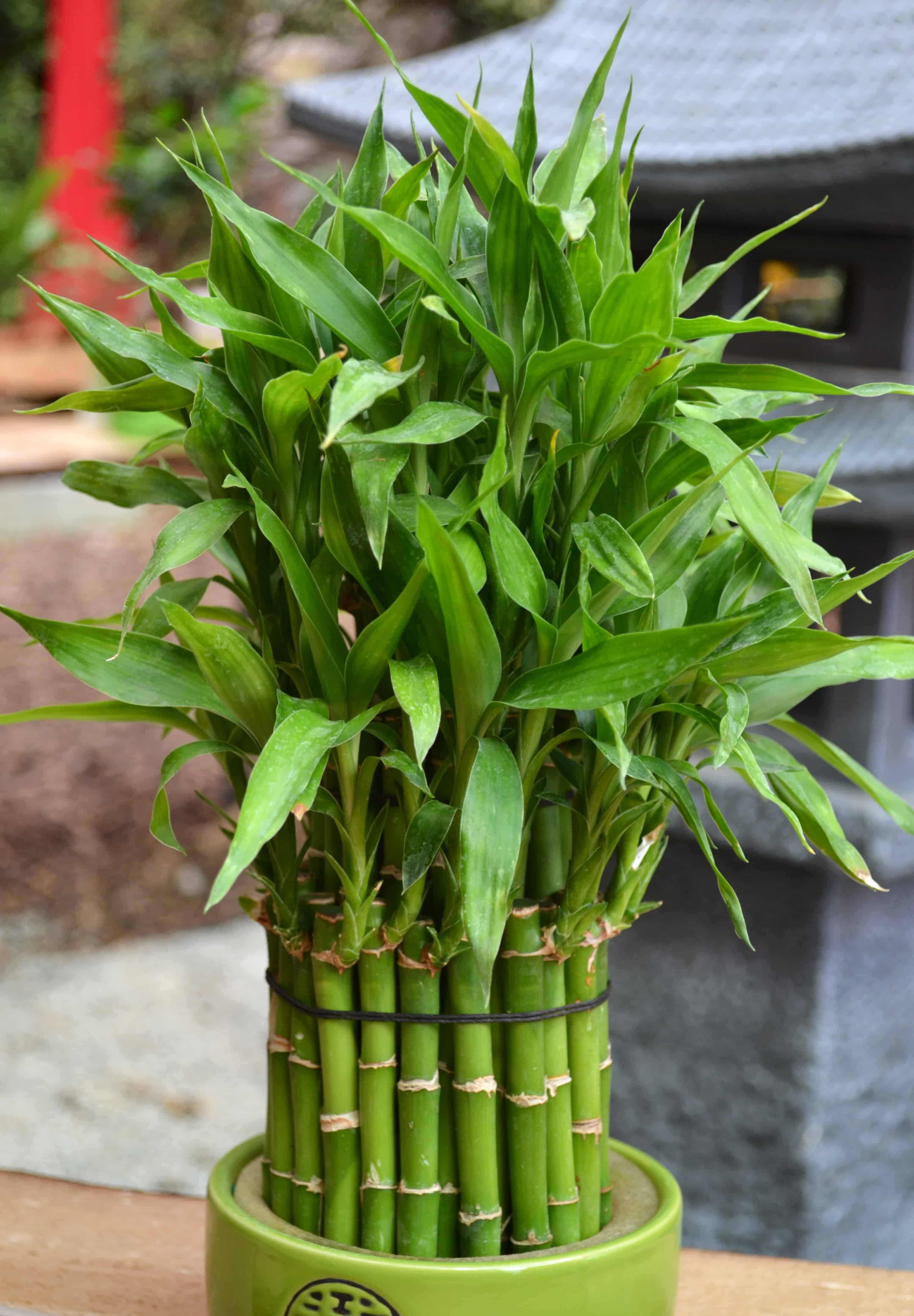 lucky bamboo great for low light titlimg
