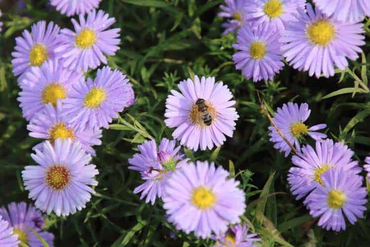 blue aster in the autumn garden