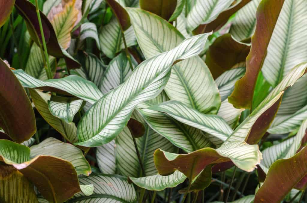 calathea shadow plants img