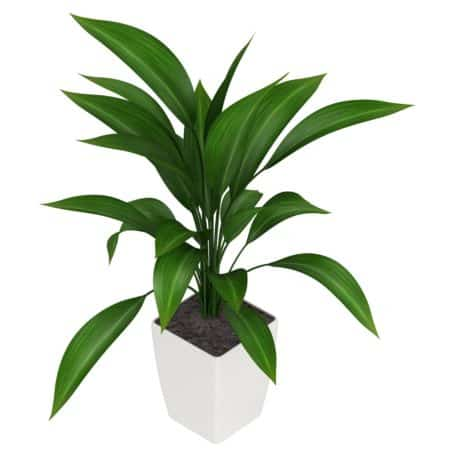 cast-iron-plant-aspidistra img