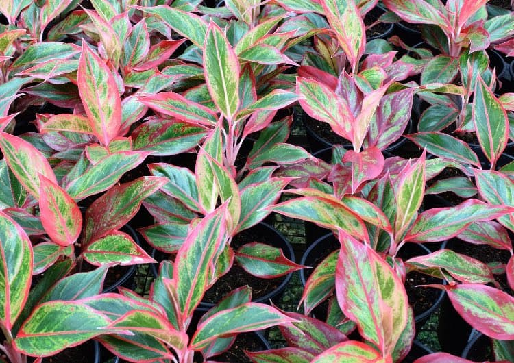 plant chinese evergreen