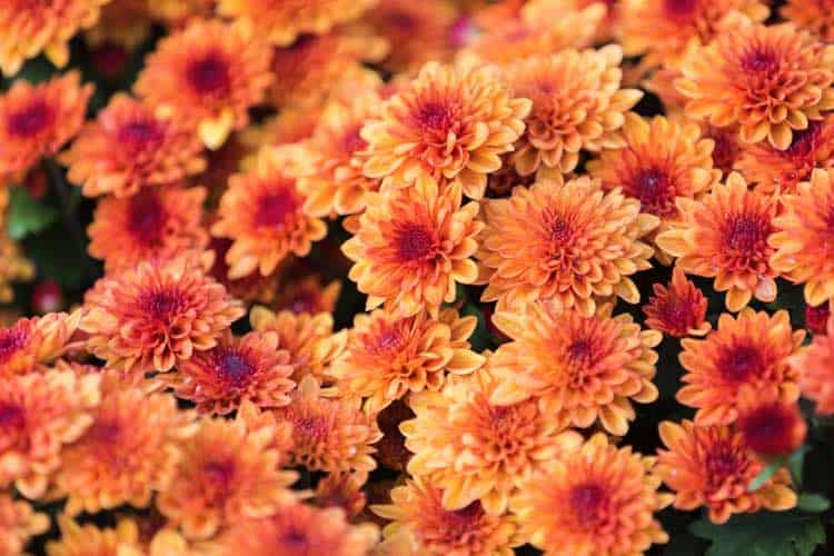 chrysanthemum perennials