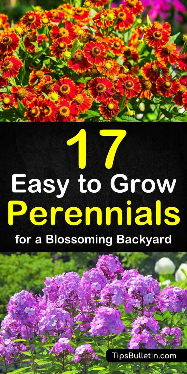 Article with a detailed list of 17 easy to grow low maintenance perennials. For a long blooming flowering and ground covering greens. Suitable to be planted in pots or containers.#plants #perennials #easy-to-grow #easy