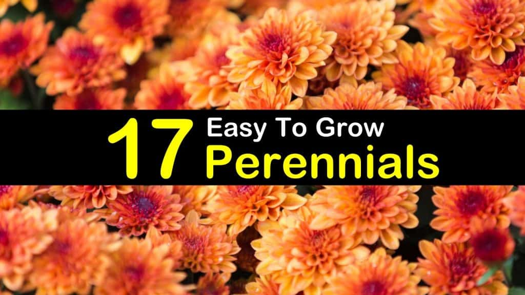 17 easy to grow perennials for a blossoming backyard mightylinksfo