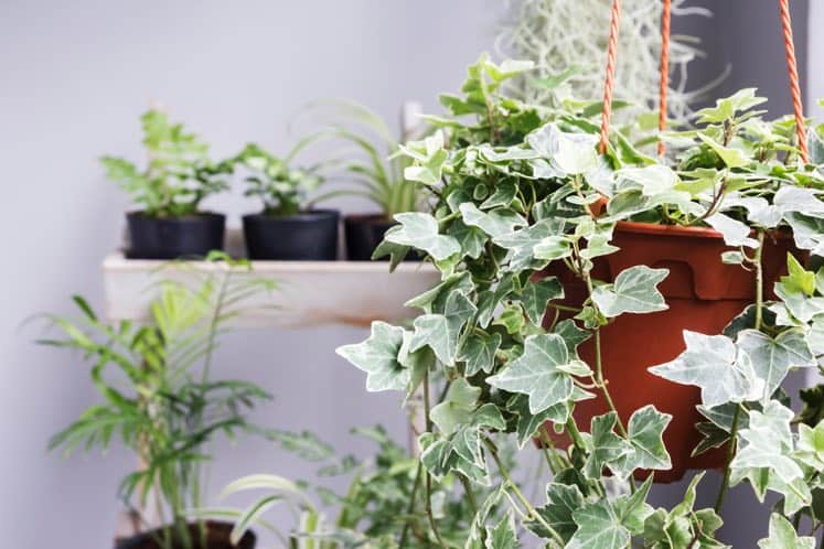 air cleaning houseplant english ivy