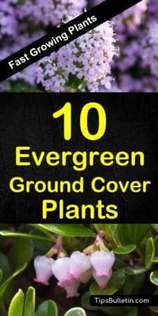 10 best evergreen fast growing ground cover plants covering year-round perennial plants for sun and shade. Perfect along your walkways and for landscaping projects. From periwinkle, dragons blood and creeping phlox to bearberry and geraniums. #groundcoverplants #plants #gardening #perennials