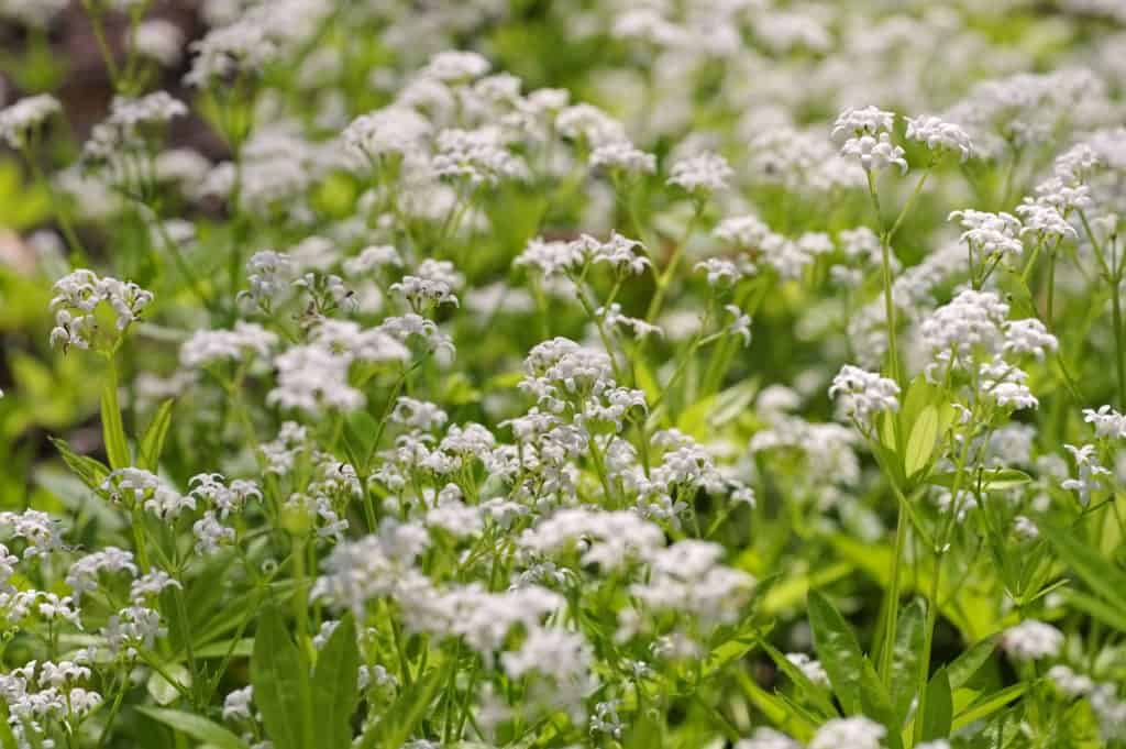 Ground Cover Plants Sweet Woodruff
