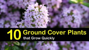 ground cover plants titimg