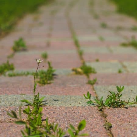 use white vinegar to kill weeds around the garden and on sidewalks