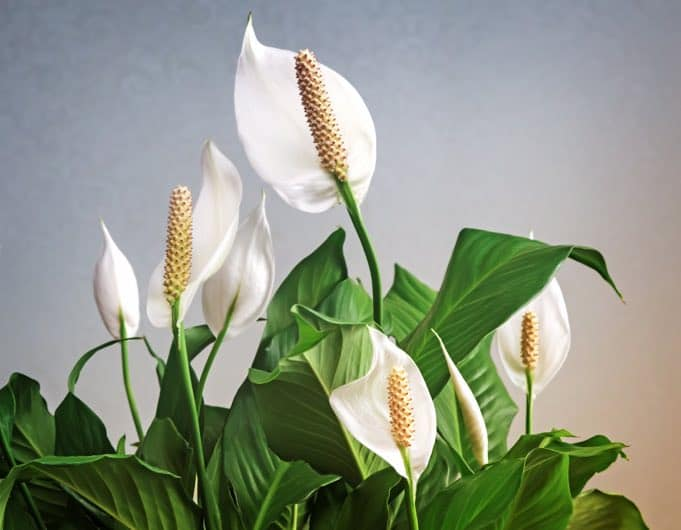 peace lily spathiphyllum plants