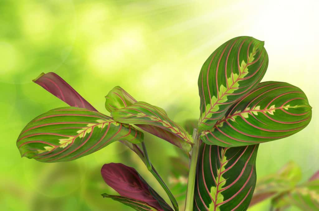 prayer-plant