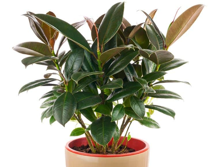 rubber plant to clean air at home img