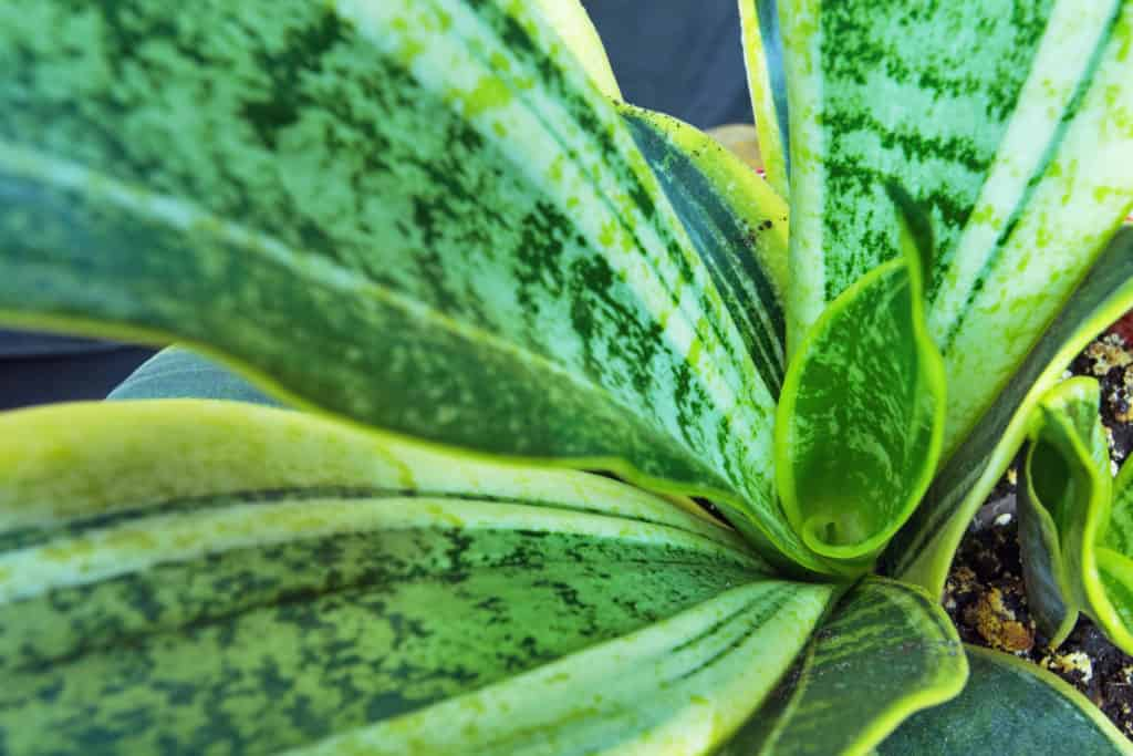 perfect house plant for low light - snake plant titlimg