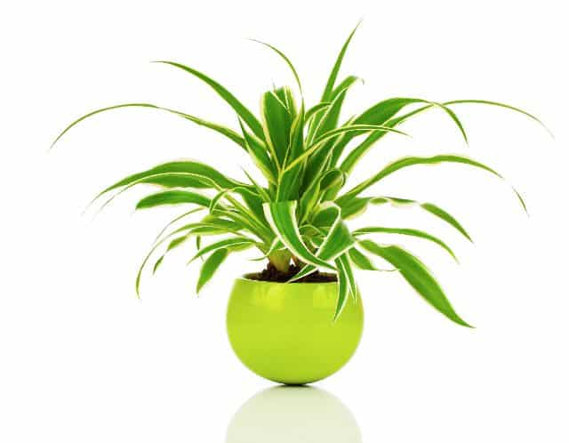 air cleaning spider plant in pot