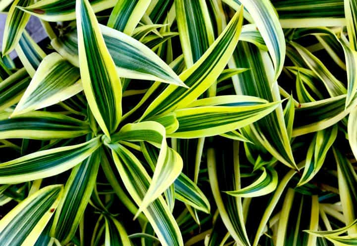 one of the best plants that clean the air the dracaena