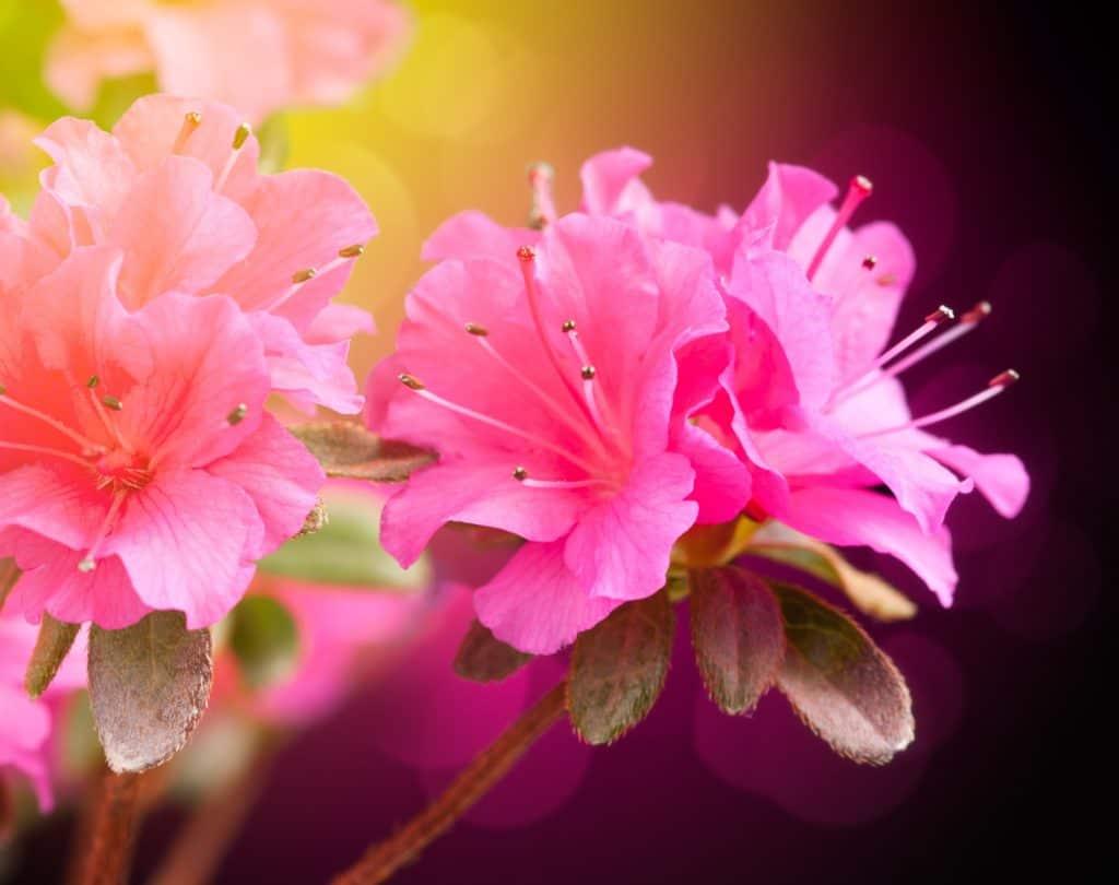 Azalea perfect shrub
