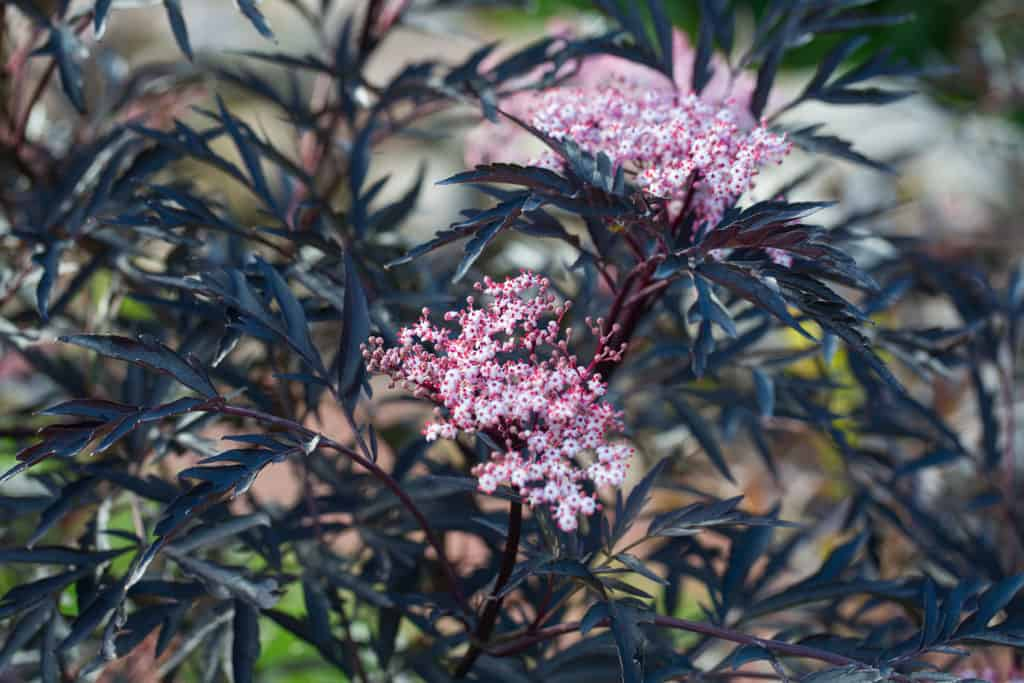 17 amazing evergreen shrubs for brilliant color year round black lace elderberry mightylinksfo