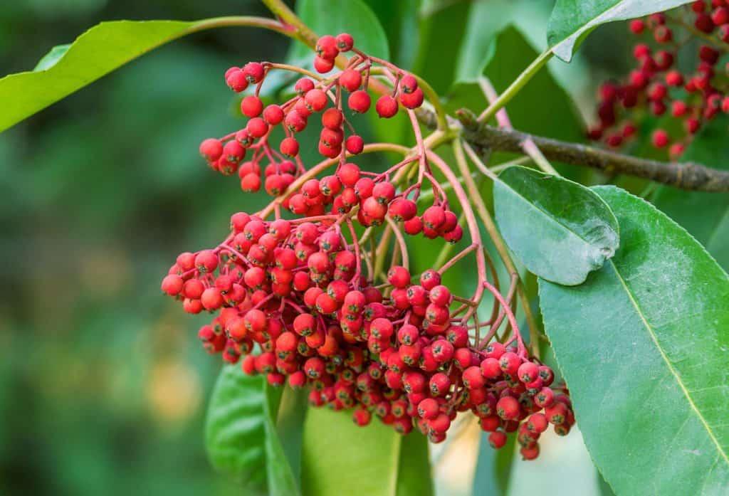 Photinia perfect shrubs
