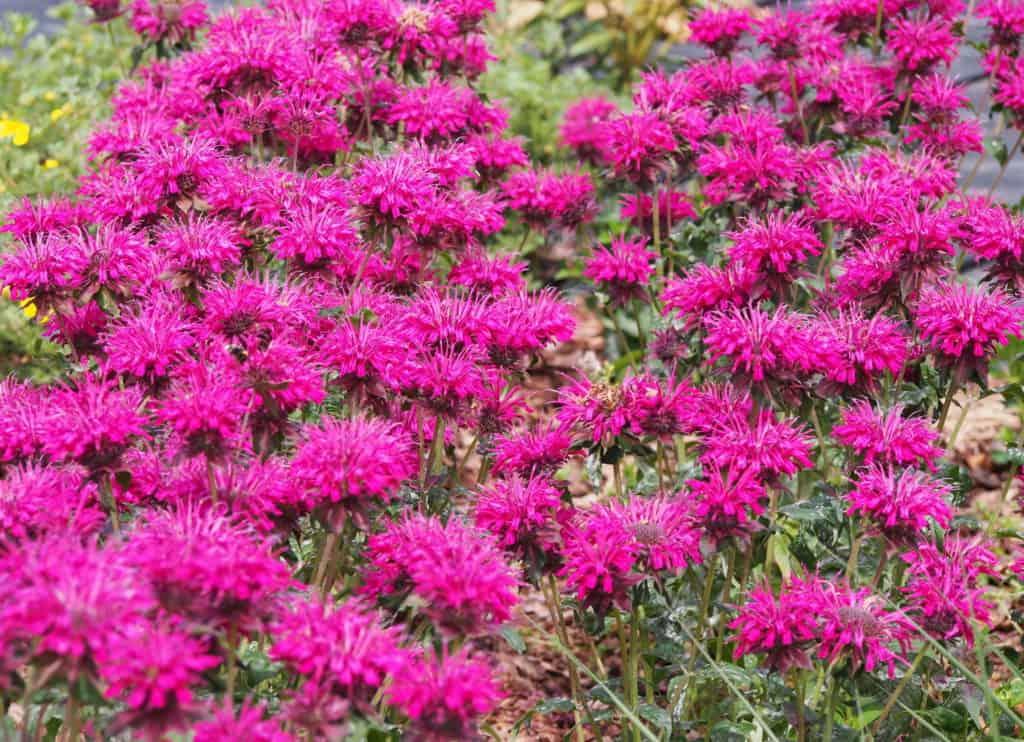 bee balm plants